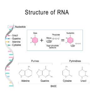 Figure 5. RNA structure
