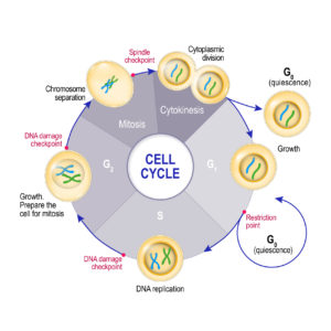 Figure 1. The cell cycle